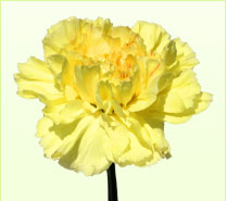 Carnation Flower on Yellow Carnations
