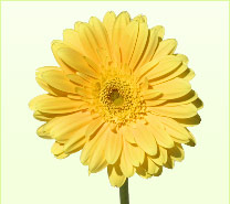 Yellow Flower Picture on Choose From Out Wide Variety Of Flowers Give Us A Call To Find Out